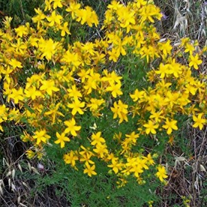 Essential Oil St. John's Wort 2