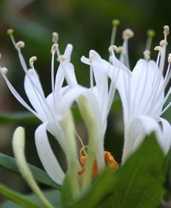 essential oil honeysuckle 2