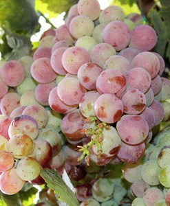 grapeseed oil grapes