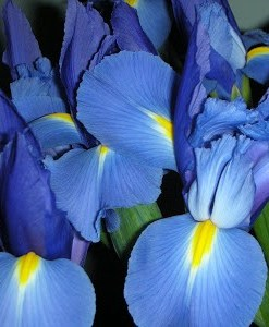 orris absolute oil iris