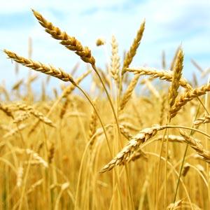 wheatgerm oil wheat