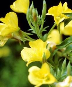 evening primrose oil flower