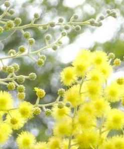 mimosa absolute oil flower