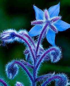 Borage oil 2