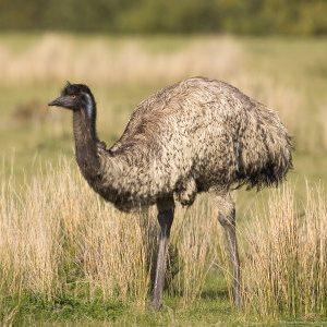 Emu Oil Bird