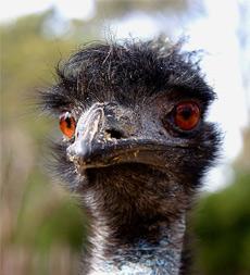 Emu Oil Emu Face