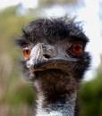 Emu Oil_Emu Face