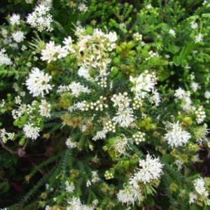 essential oil buchu bouquet