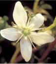 essential oil buchu flower