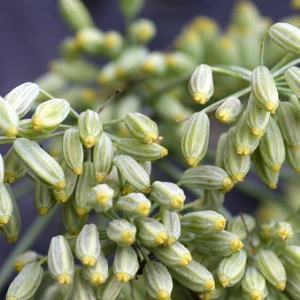 Essential oil Fennel 2