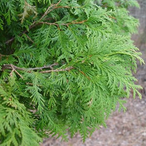 Essential oil Thuja 2