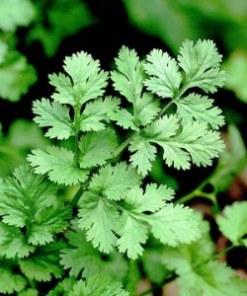 essential oil coriander 2