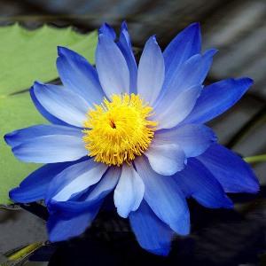 blue lotus absolute 2