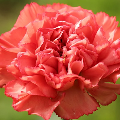 carnation absolute 2