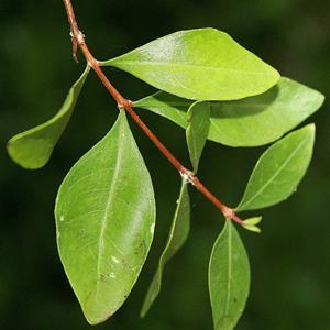 essential oil henna leaf