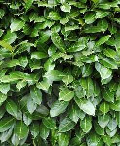 essential oil laurel leaf hedge