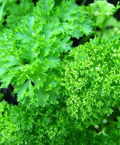 essential oil parsley