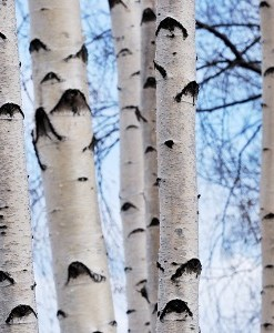 essential oil birch winter
