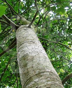 essential oil copaiba balsam tree