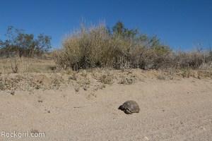 Desert Tortoise in Joshua Tree National Park