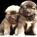 Names caucasian mountain dog caucasian ovtcharka caucasian