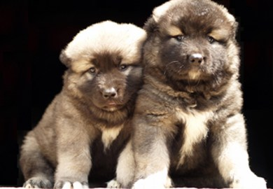 Russian Caucasian Mountain Dog For Sale Usa