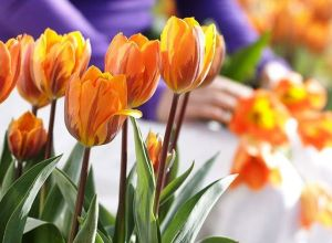 Tulips Arrangement for Home Garden