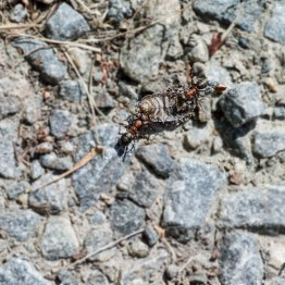 ants are fighting with a gray bug
