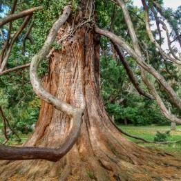 Redwood, Botanic garden, Christchurch