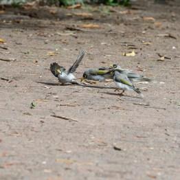 Birdfight