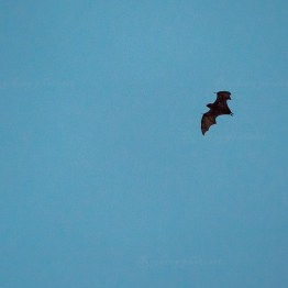 The Royal Botanic Garden, flying fox
