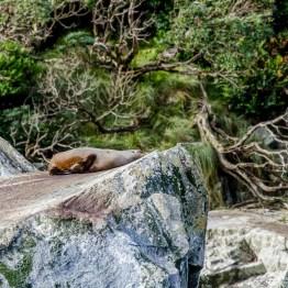 Milford Sound, fur seal