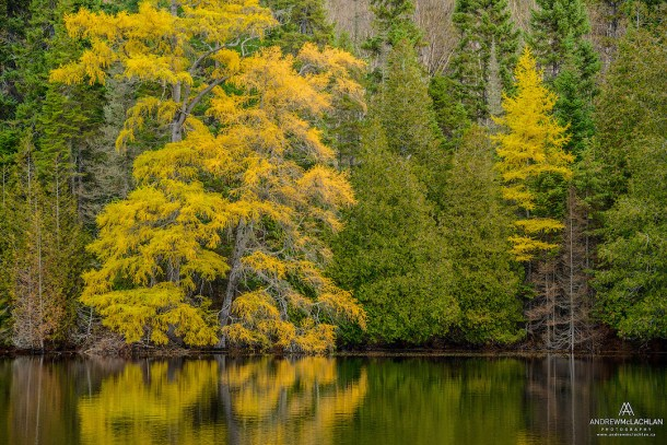 Eastern Larch in Autumn, Lake Superior Provincial Park, Ontario, Canada