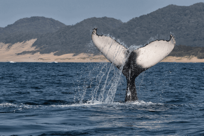 Whale Watching South Africa (1)