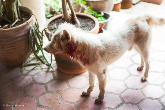 Un des chiens qui squatte chez moi, ce dernier porte encore les séquelles de son dernier combat.