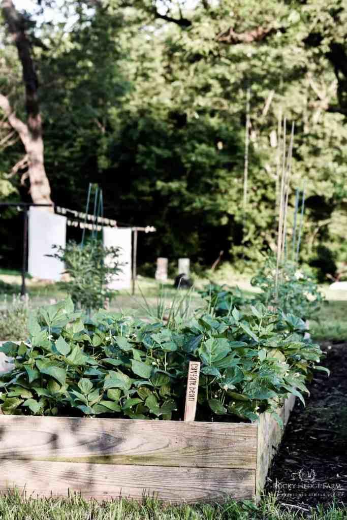 Heirloom Green Bean Seeds