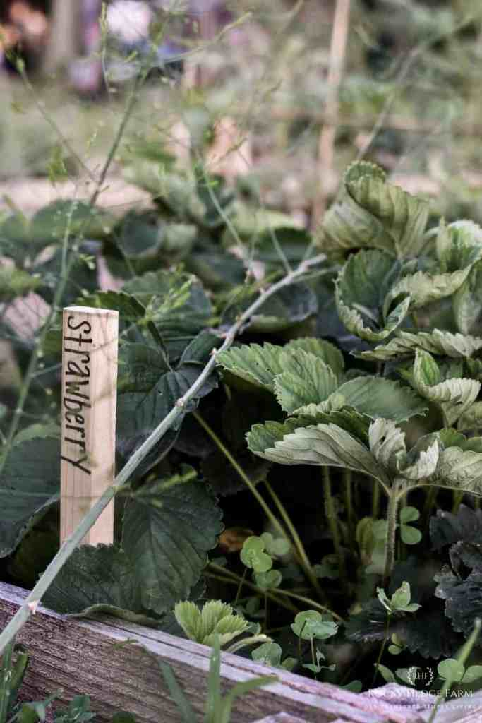 Heirloom Strawberry Plants