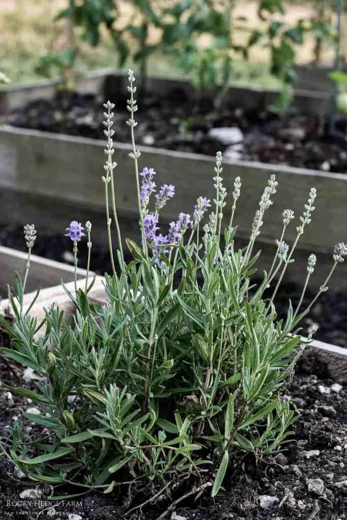 Growing Perennial Lavender