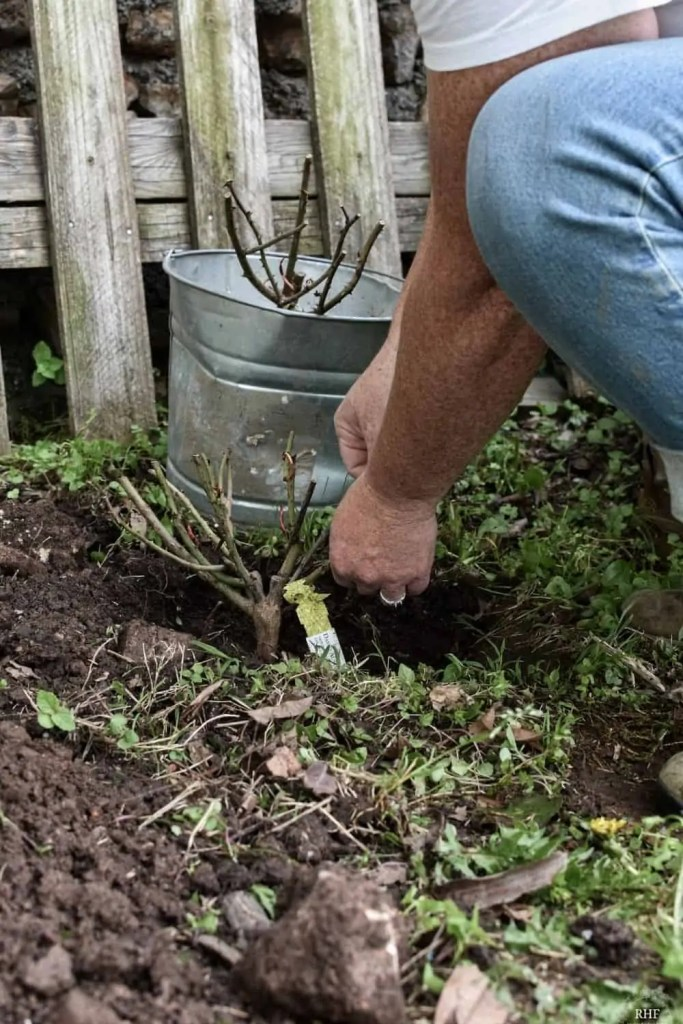 Planting a Climbing Rose Bush