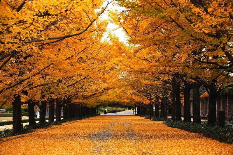 Showa kinen park ginkgo trees