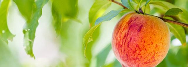 Palisade Peaches © Arinahabich08 | Dreamstime.com - <a href=