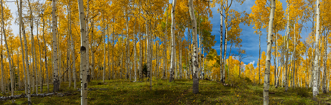 Panoramic Wallpaper Fall Aspen Forest Panoramic Photo Autumn Fall