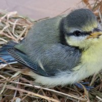 A bluetit who was successfully released in 2014 after being attacked by a cat
