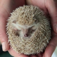 Demonstrating a prickly ball - Eric Prickles the African Pygmy Hedgehog