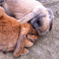 Love birds Captain and Cinnabun our mini lop earred rabbits