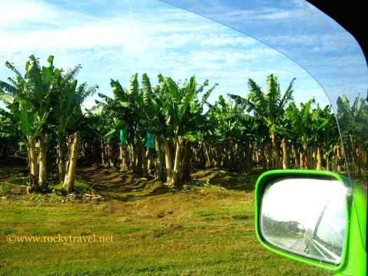 BananasPlantationsQueensland