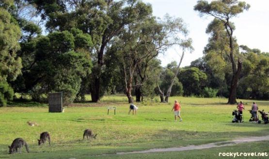 anglasea kangaroos