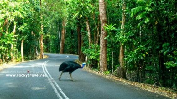 cassowary-encounter-in-cape-tribulation