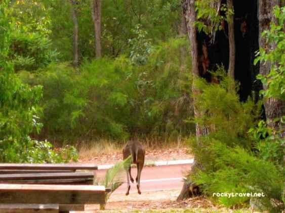 kangaroo-margaret-river
