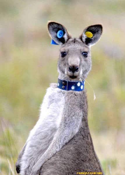 kangaroo-wilson-promontory